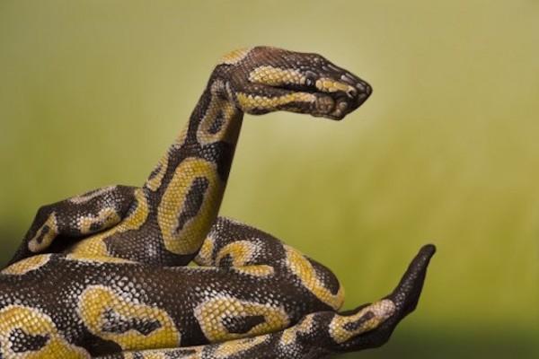 Python-Royal-600x400